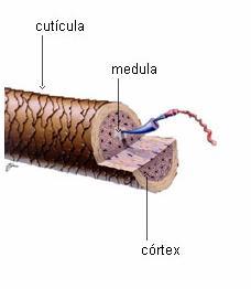 estrutura capilar